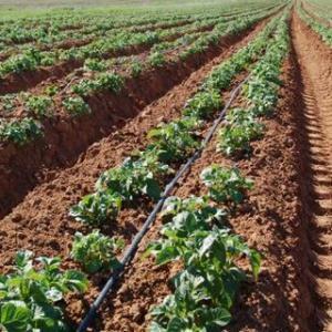 Выращивание картофеля с целью получения выгоды