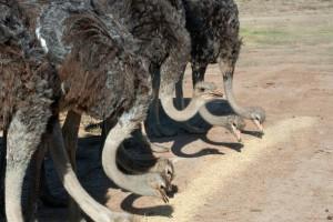 Как оборудовать территорию для страусов?