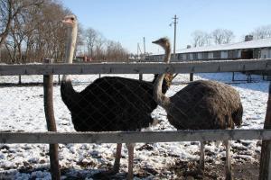 С чего начать разведение страусов?