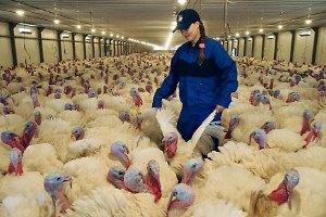 Птицеводство: разведение птиц как бизнес