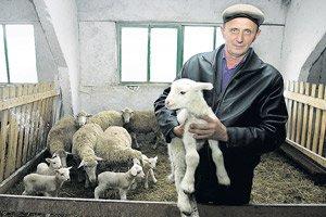 Правила содержания овец