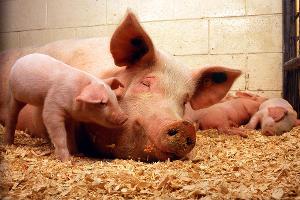 Выгодное свиноводство