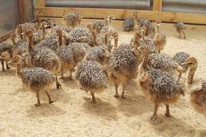 Содержание страусов на ферме