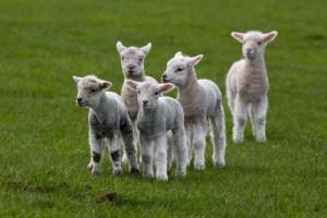 Овцеводство: с чего начать? Составляем план