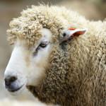 Разведение овец с целью реализации продукции