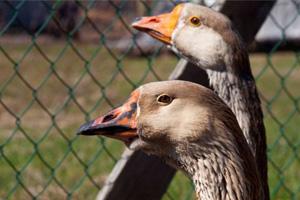 Разведение гусей в домашних условиях как бизнес