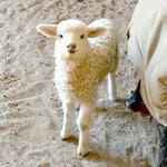 Разведение овец как бизнес-идея
