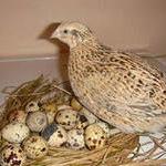 Перепела как выгодное бизнес-направление птицеводства