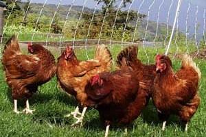 Какую породу кур выбрать для разведения?