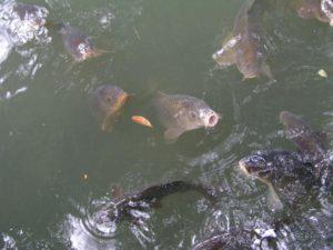 Особенности разведения и содержания рыбы