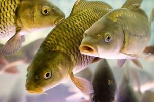 Разведение рыбы как бизнес-идея