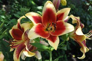 Как выращивать лилии в теплице на продажу?