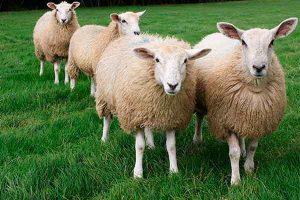Овцеводство как источник дохода
