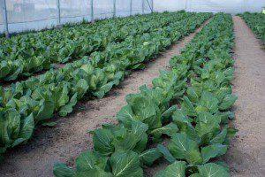 Выращивание овощей как идея для бизнеса в сельской местности