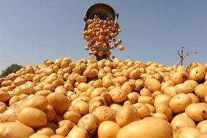 Выращивание картофеля как бизнес-идея