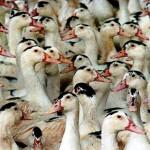 Бизнес на разведении уток мулардов как отрасль птицеводства